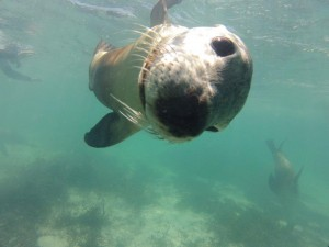 Snorkelling with the Sea Lions at Jurien Bay, WA
