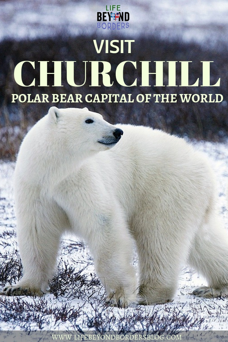 Visit the Churchill Polar Bears - Manitoba, Canada