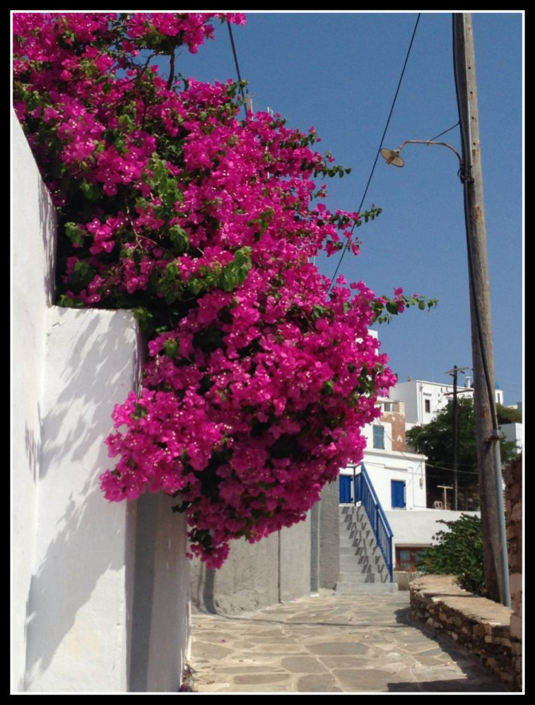 Bourgainvillia in Greece