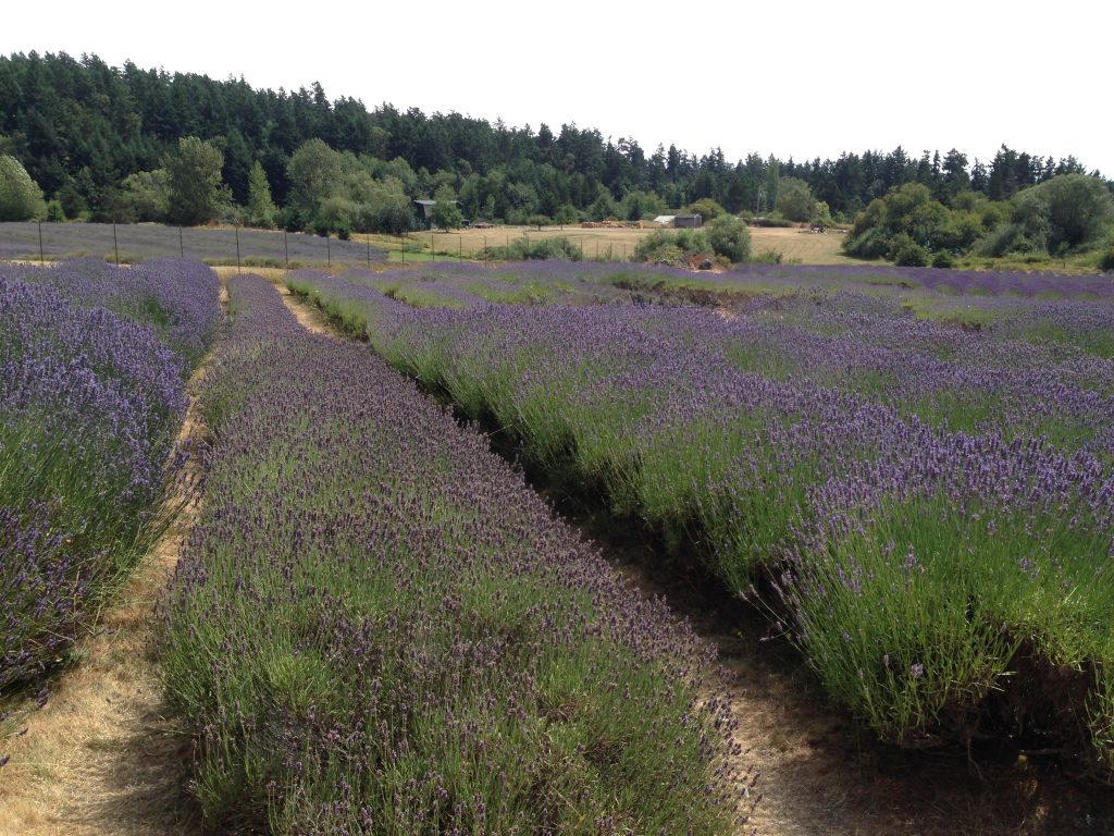 Miles upon miles of purple at the Pelindaba Lavender Farm - San Juan Island - Washington State