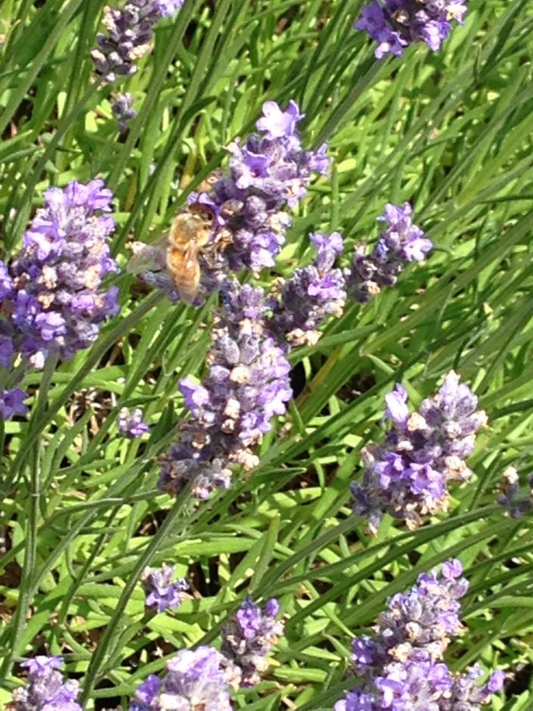 Bees pollinating the lavender at Pelindaba Lavender Farm