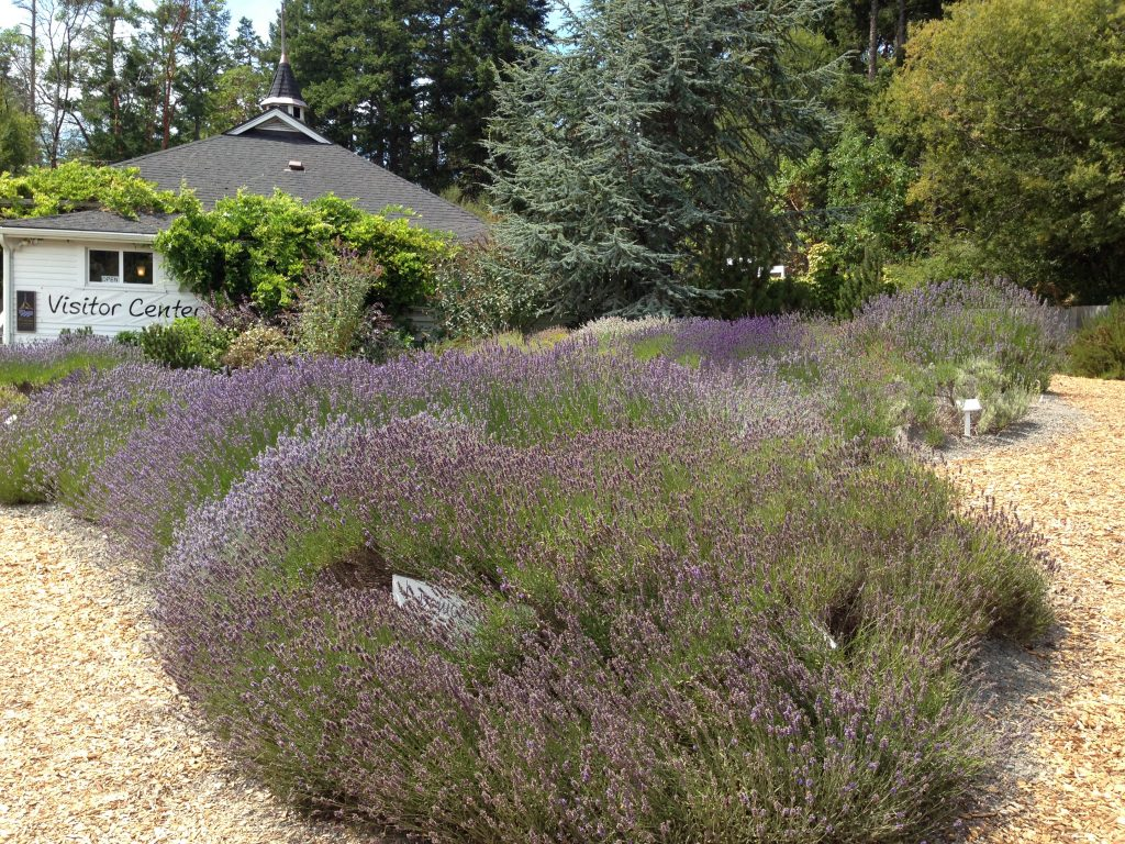 Beautiful lavender plants at Pelindaba Lavender Farm on San Juan Island