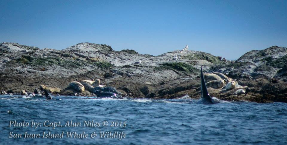 Orcas hunting seals on our whale watching trip!