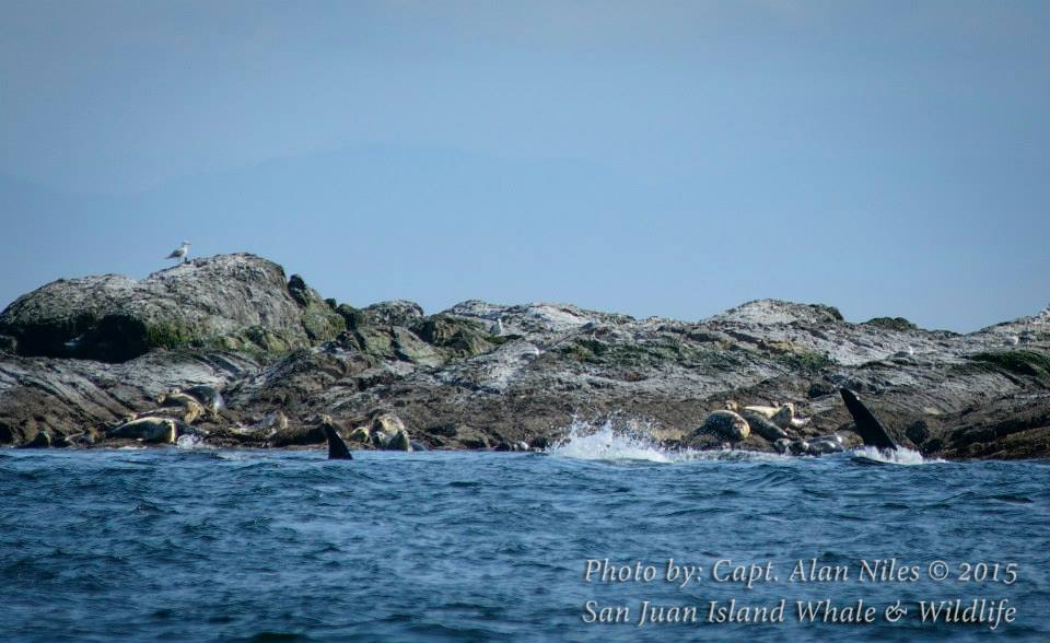 Seal toast? Whale watching off the San Juan Islands