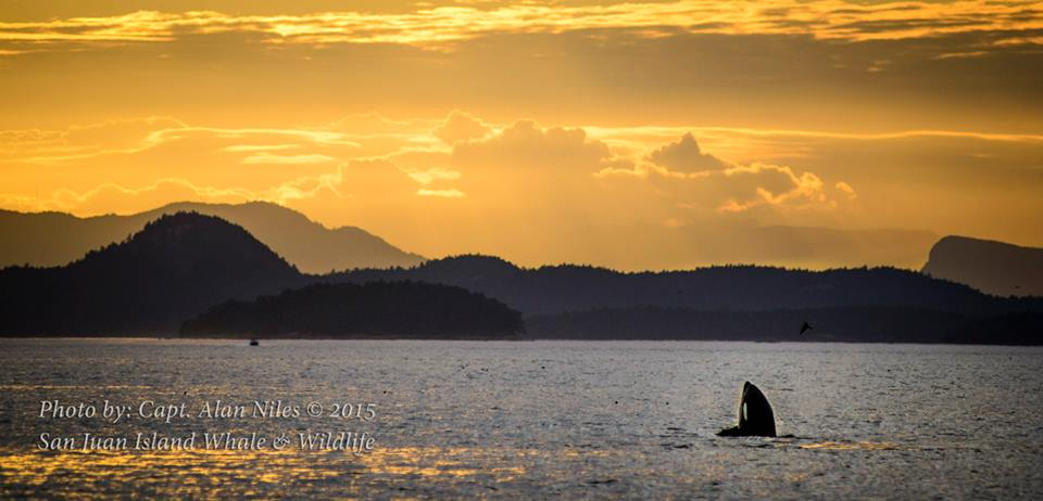 Popping head up to have a look around - whale watching off San Juan Island at sunset