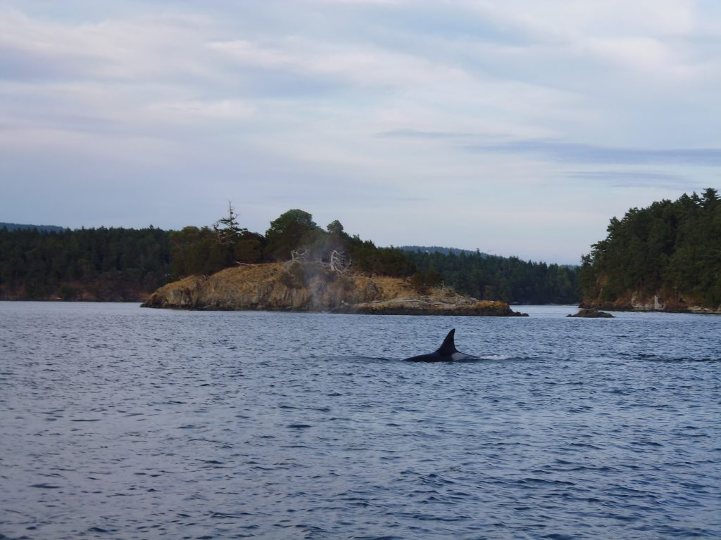 Whale watching off San Juan Island