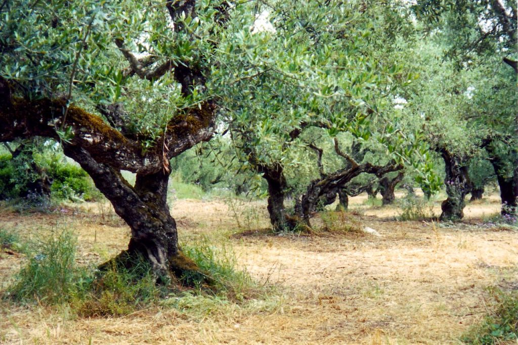 Literally, among the olive groves on Zakynthos island!