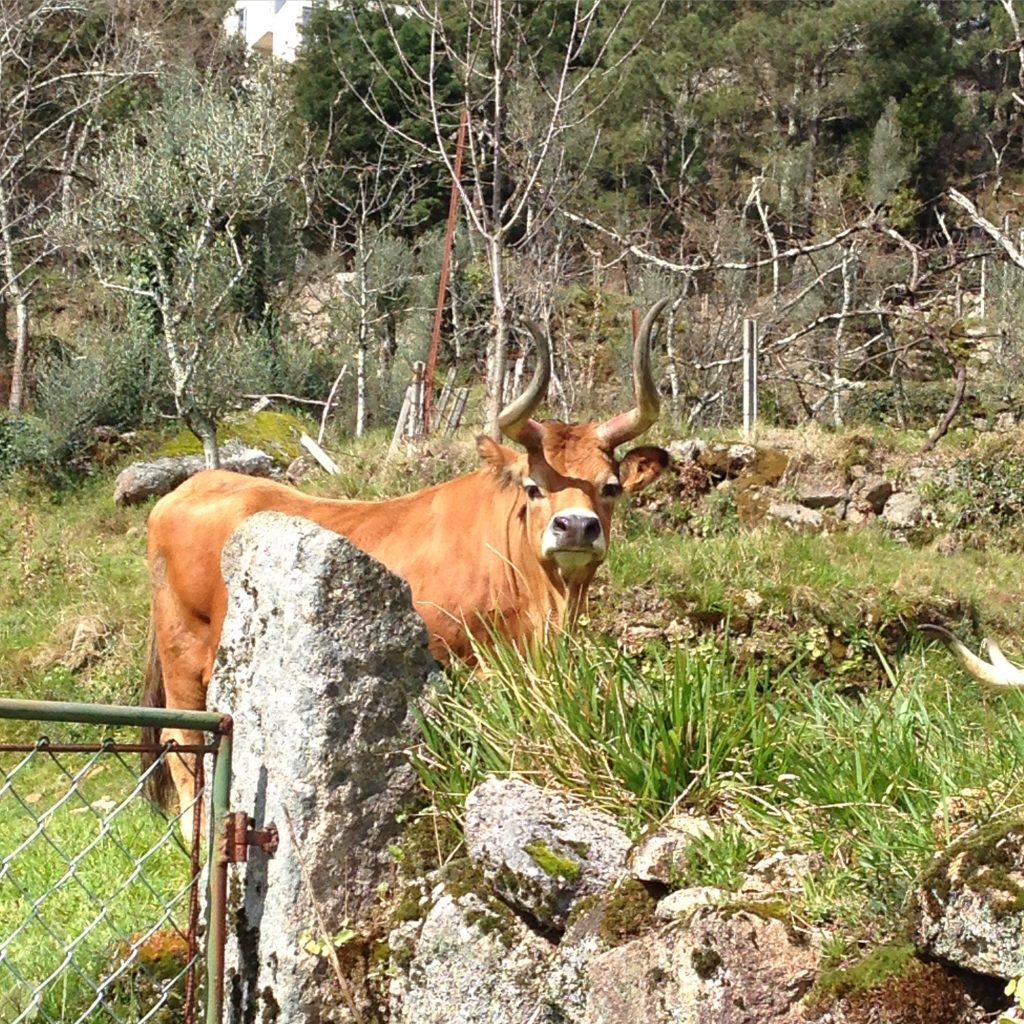 Local cows - Geres National Park