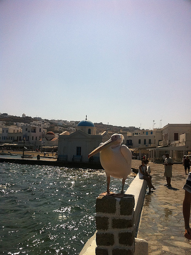 Petros the Pelican photo in Mykonos Town. Life Beyond Borders